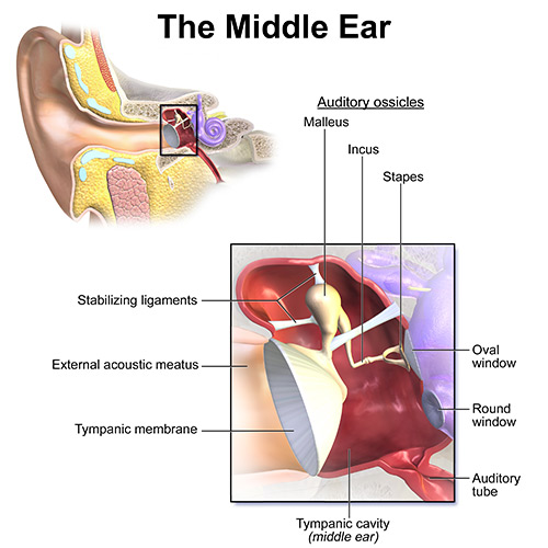 middle-ear